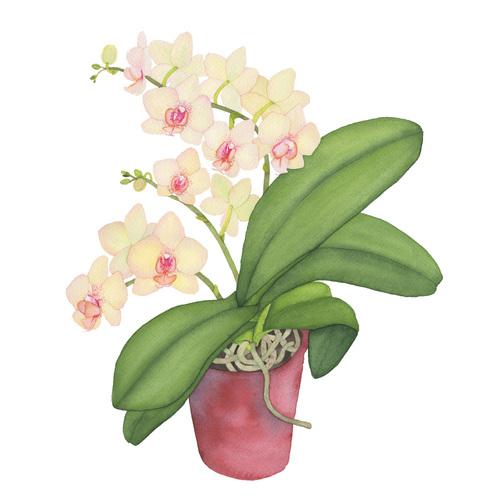 Pale+Peach+Orchid.jpg